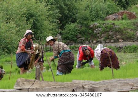 THIMPHU, BHUTAN - JUN 7, 2014: Bhutanese Women as Farmers are harvesting rice on rice paddy at Thimphu, Bhutan on Jun 7, 2014. - stock photo