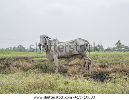 Thin cow grazing on the side of the road in open range area of Thai - stock photo