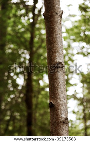 Thin Tree With Green Leaves in Background - stock photo