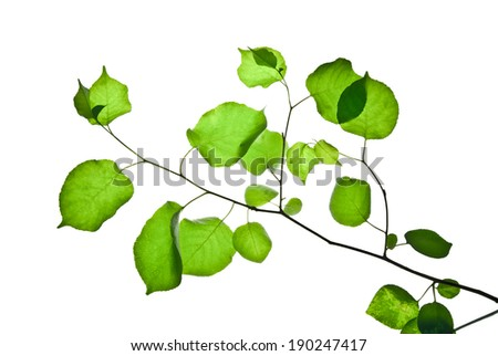 Thin twig with rounded green leaves isolated on white   - stock photo