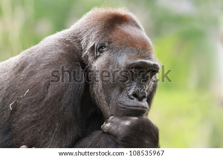 thinking gorilla - stock photo