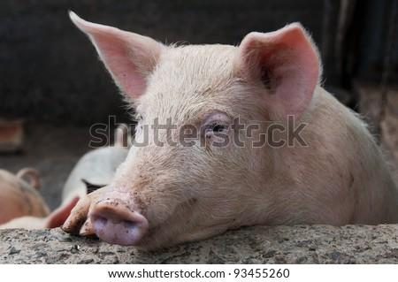 Thinking Pig - stock photo