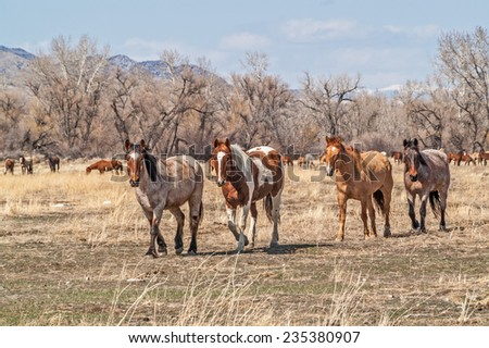 Thirsty after being on the trail, these beautiful horses are heading for water while checking out the photographer - stock photo
