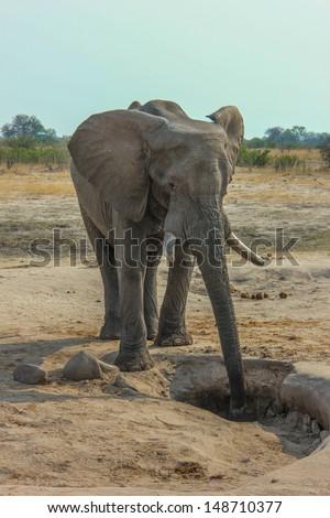 Thirsty elephant in Zimbabwe savannah - stock photo