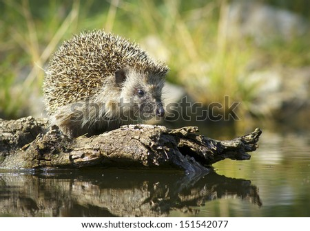 Thirsty european hedgehog - stock photo