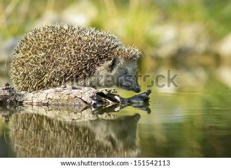 Thirsty european hedgehog - stock photo
