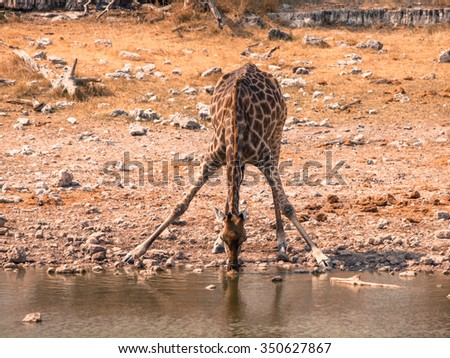 Thirsty giraffe drinking from waterhole in typical pose with wide spread legs, Etosha National Park, Namibia - stock photo