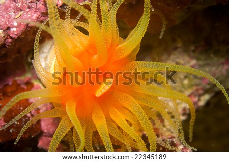 This a bright orange and yellow Dendrophyllia stony coral with its feeding tentacles extended. - stock photo