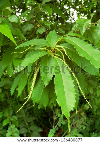 This American chestnut (Castanea dentata) is in full bloom in early summer. - stock photo