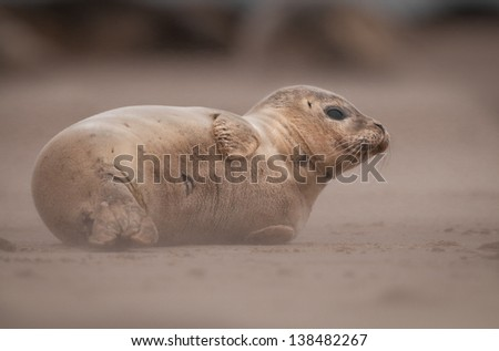 This baby Grey Seal turns its back towards the driving blast of sand as a gale tears across his beach. - stock photo