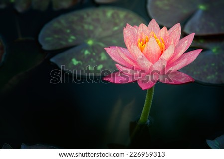 This beautiful pink waterlily or lotus flower is complimented by the rich colors of the deep blue water surface. Saturated colors and vibrant detail make this an almost surreal image. - stock photo