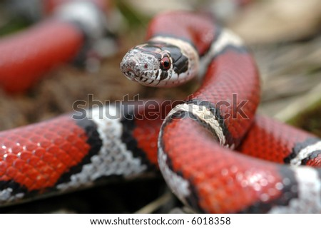 This beautiful red milksnake appears to be ready to strike at the camera. - stock photo