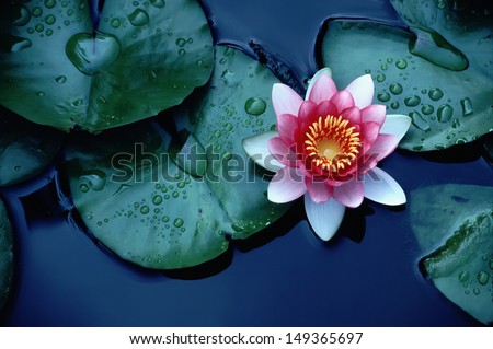 This beautiful waterlily or lotus flower is complimented by the rich colors of the deep blue water surface. Saturated colors and vibrant detail make this an almost surreal image. - stock photo