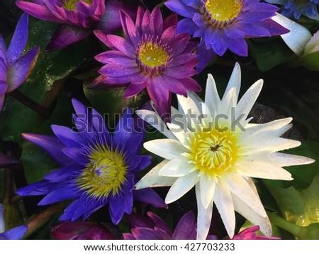 This beautiful waterlily or lotus flower. / Lotus flower and Lotus flower plants - stock photo