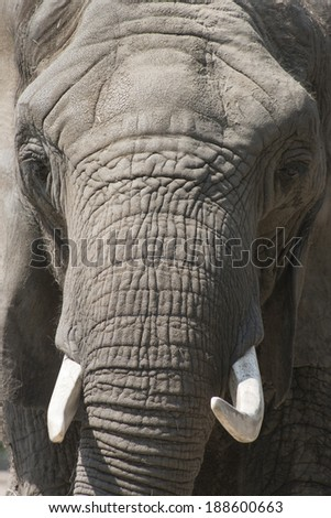 This close up portrait of an African Elephant at our local zoo, emphasizes the strong textures of the skin and trunk of this endangered species. - stock photo