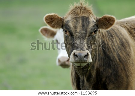 This cow had a ton of personality, and the hairdo to match! She watched me for quite some time as she chewed her grass, and didn't seem to mind one bit that i found her poofy hair do quite funny! - stock photo