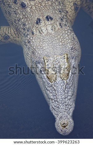 this crocodile is not an albino just lighter skin - stock photo