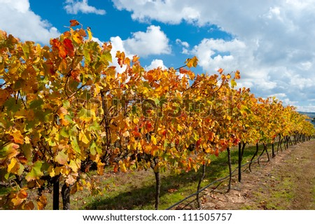 This image shows colourful vines in the WIne Region near Canberra, Australia - stock photo