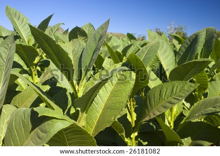 This image shows tobacco plants in Vinales, Cuba - stock photo