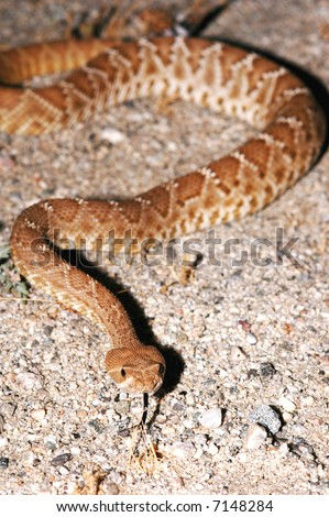 This image was of a red diamond rattlesnake was taken at night in southern California. - stock photo