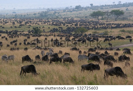 This image was taken in Africa in Kenya in Masai Mara reserwe. Gnus and zebras can see on the pictures. - stock photo