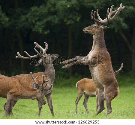 """This image was taken in Hungary. On the picture can see three deers . One is """"calling for dance"""" the other one. - stock photo"""