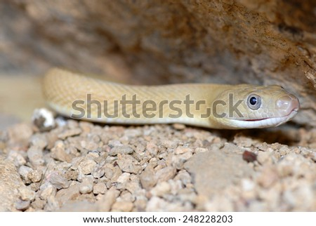 This is a blonde phase of the Trans-Pecos ratsnake, photographed in Western Texas along the Mexico border. - stock photo