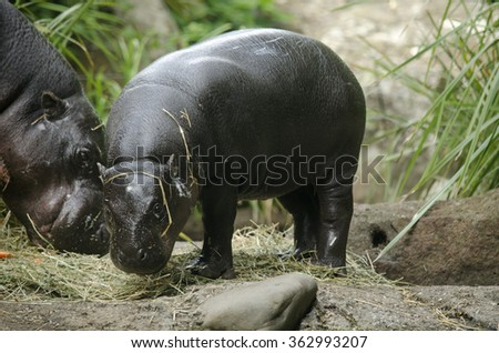 this is a close up of a baby hippo - stock photo