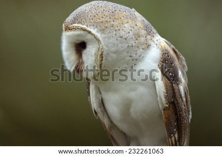 this is a close up of a barn owl - stock photo