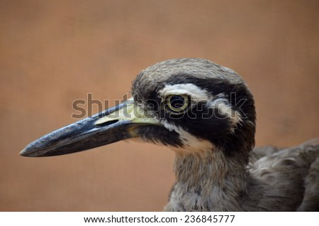 this is a close up of a beach stone curlew - stock photo