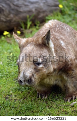 this is a close up of a hairy nosed wombat - stock photo