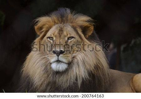 this is a close up of a lion - stock photo