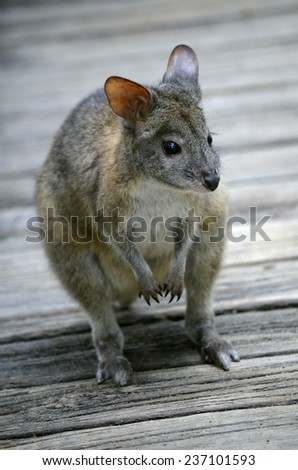 this is a close up of a red necked wallaby - stock photo