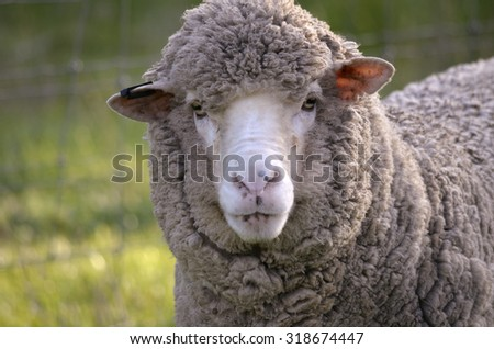 this is a close up of a sheep - stock photo