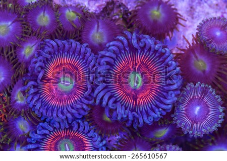 This is a colony of armor of god palythoa polyps and zoanthid polyps on a rock. - stock photo