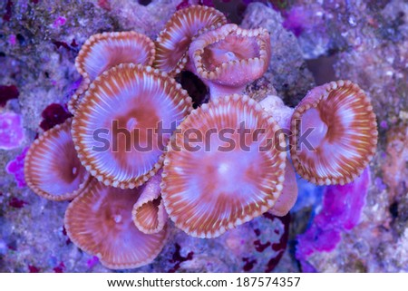 This is a colony of Palythoa grandis coral growing on a rock. - stock photo