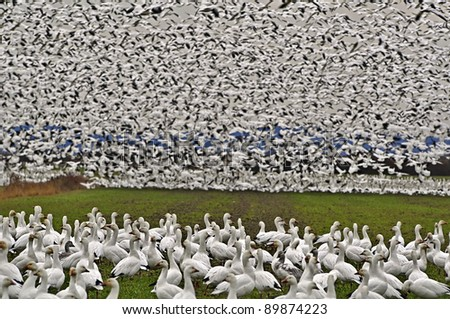 This is a flock of wild snow geese on Fir Island in Skagit County, Washington a known migrating place.  This flock is literally thousands, some being on the ground and in flight, so thick. - stock photo