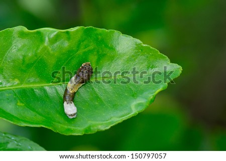 This is a giant swallowtail caterpillar on a citrus leaf that looks like bird droppings - stock photo