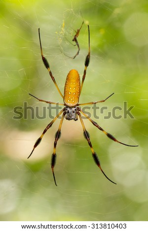 This is a golden orb-web spider (Nephila clavipes) in its web.  The male is much small and is above the female. - stock photo