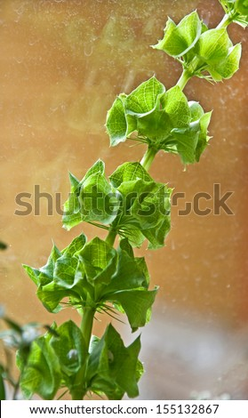 This is a green stalk of a Bells of Ireland plant, otherwise known as Molucca balmis or Shellflower, against a window with reflection. - stock photo