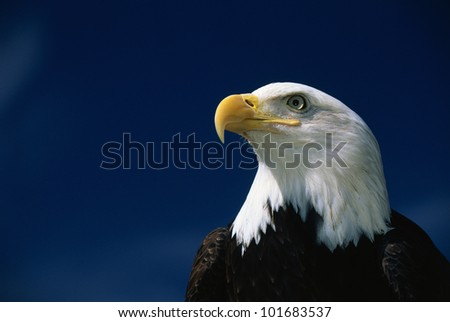 This is a mature American bald eagle's upper body with his head and beak facing left, looking out. - stock photo
