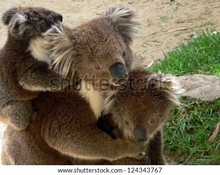 this is a portrait of a koala family - stock photo