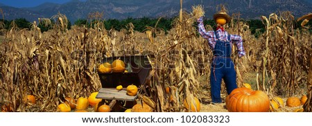 This is a Pumpkin Patch. There is a scarecrow in a straw hat and overalls next to a wheelbarrow and tall corn stalks. - stock photo