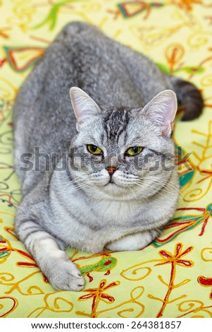 This is a Scottish Straight  Shorthair  Cat on her comfortable bed. - stock photo