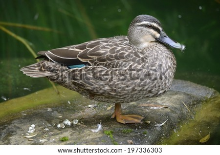 this is a side view of a pacific black duck - stock photo