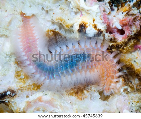 This is a species of marinie bristle worm resting on a rock. - stock photo