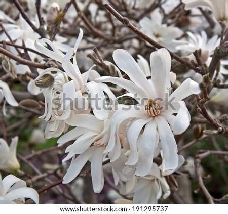 This is a white star magnolia tree in bloom with its soft, white droopy petals and the dark wood of the tree mingled in. - stock photo