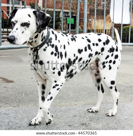 This is an image of a Dalmatian. - stock photo