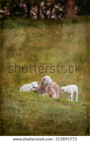 This is an image of mother and 2 baby lambs (Ovis aries) sitting on the hillside of a local farm. It has added texture in post processing to give it a more creative look. - stock photo