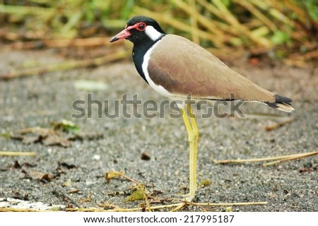 This is birds of Thailand, name Red-wattles Lapwing  - stock photo